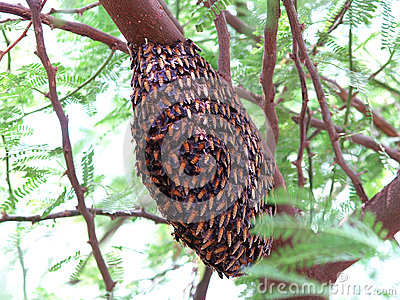 Honeycomb on Tree Branch