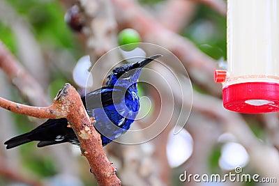 Honeycreeper finch bird