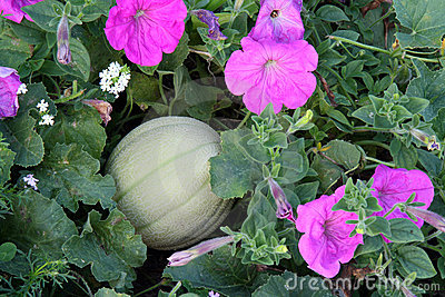 Honeydew melon and petunias