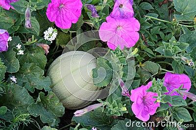 Honeydew melon and petunias