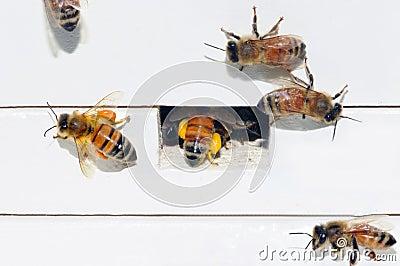 Honig-Bienen, die Blütenstaub packen