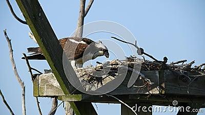 Honlig Osprey Äter fisk i bo lager videofilmer