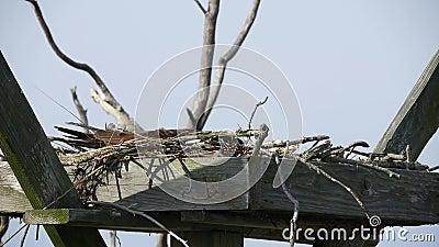 Honlig Osprey på ägghane Av lager videofilmer