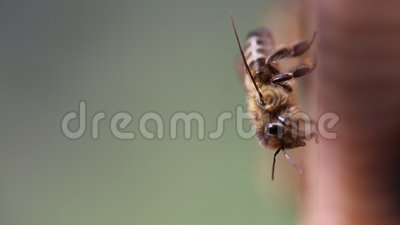 Honungsbin på bikupan lager videofilmer