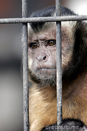 Hooded Capuchin Monkey Behind Bars