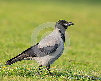 Hooded Crow on a meadow