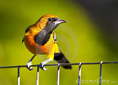 Hooded Oriole Perched on a Wire Fence