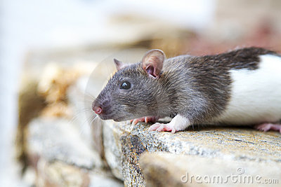 Hooded rat