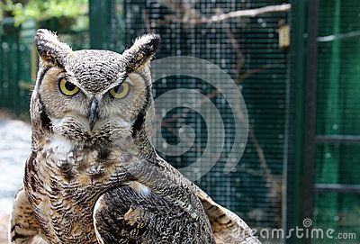 Hooded stare of Great horned owl
