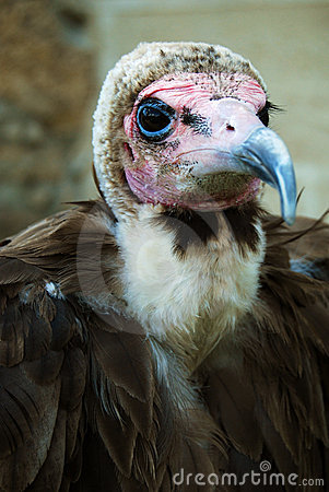 Free Hooded Vulture Portrait Stock Image - 8512691