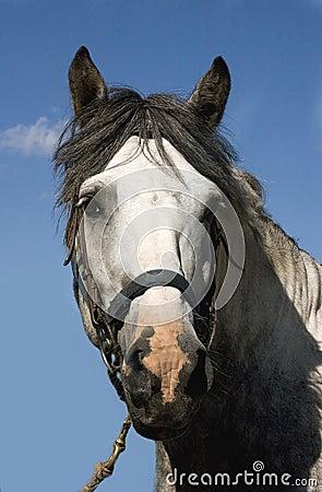 Hoofd van grijs paard