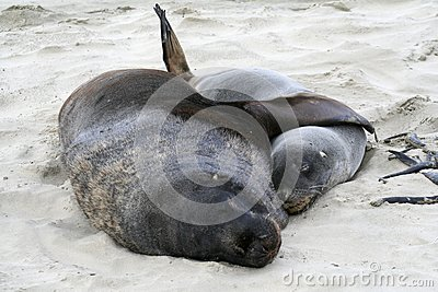 sealion and pup