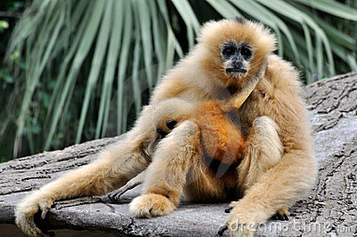 Hoolock gibbon mother and kid