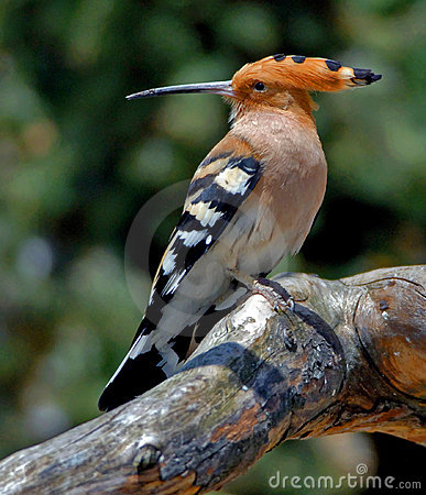 Free Hoopoe Stock Photography - 1342802