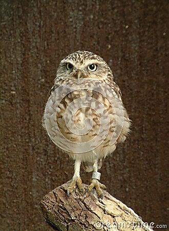 Hooting Owl 2