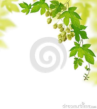 Hop plant border