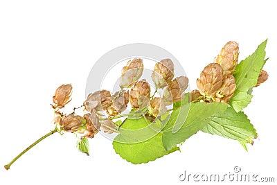 Hop plant closeup