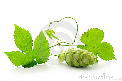 Hop plant with cone