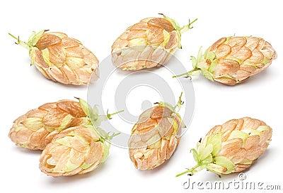 Hop ripe gold plant