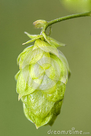 Hop - taste of beer