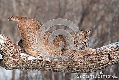 Hopkrupen ställning för Bobcat (lodjurrufus) på snöig Tree förgrena sig
