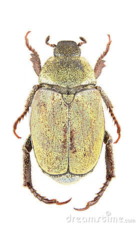Hoplia argentea female