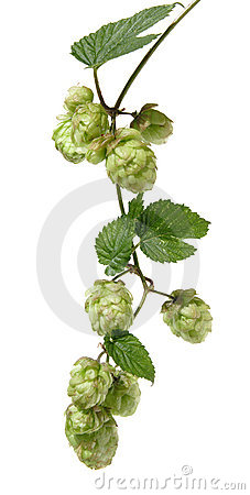 Free Hops Branch Royalty Free Stock Photos - 3161038