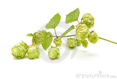 Hops (Humulus lupulus)