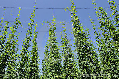 Hops leaves in plantation #3, baden