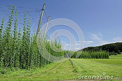 Hops plantation #2, baden