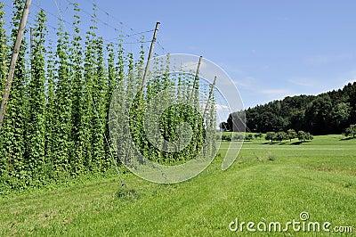 Hops plantation #6, baden
