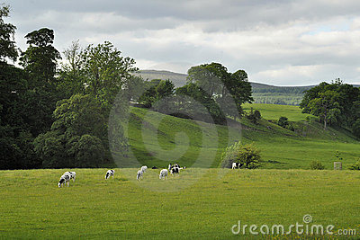Horizontal de campagne : vaches frôlant dans le domaine