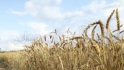 Horizontal rural Le champ de blé dans le jour d'été Les oreilles mûres ondulent sur un vent banque de vidéos