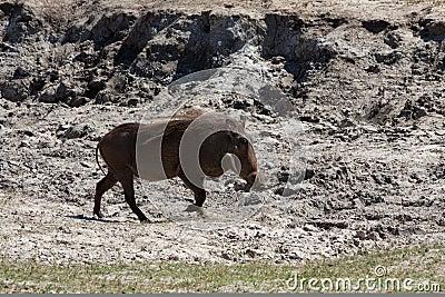 Horizontal warthog running