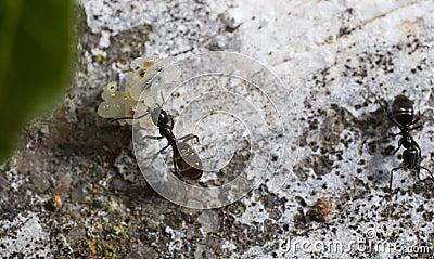 Hormiga que transporta los huevos