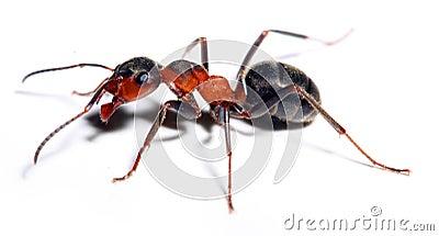 Hormiga roja grande.