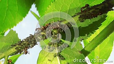 Hormigas que cultivan áfidos metrajes