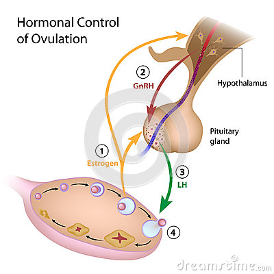 Free Hormonal Control Of Ovulation Royalty Free Stock Images - 27345479