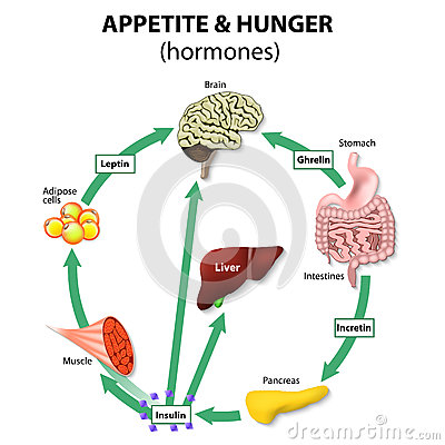 Free Hormones Appetite & Hunger Stock Images - 59164904