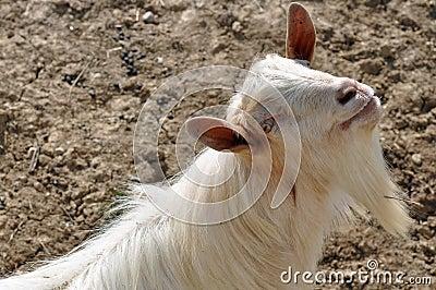 Horn beard goat