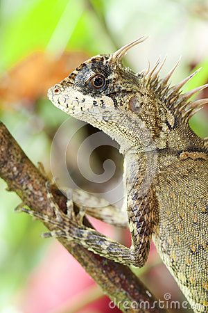 Horn Lizard Stock Images - Image: 25096364