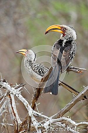 Free Hornbill Stock Photography - 1531072