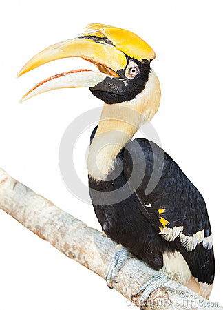 Free Hornbill Royalty Free Stock Images - 30069469