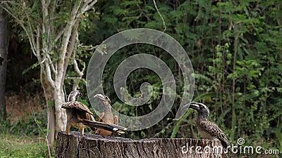 Hornbill grigio africano, tockus nasutus e Hornbill di Von Der Decken, tockus deckeni, Adulto in volo, atterraggio, Tsavo park in stock footage