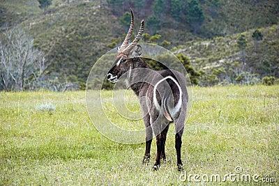 Horned antelope