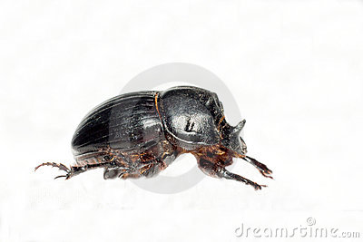 Horned dung beetle (Copris lunaris)