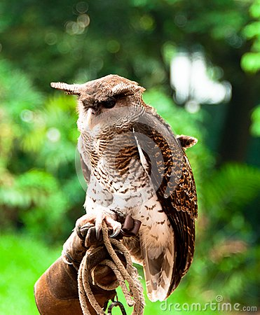 Horned Eagle Owl
