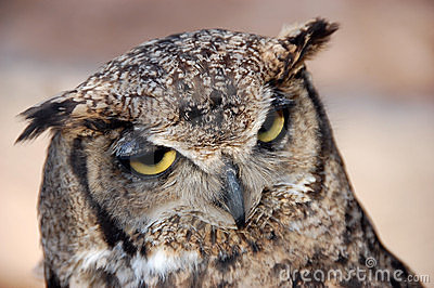Horned Owl - Búho