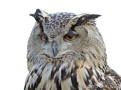 Horned owl s isolated portrait