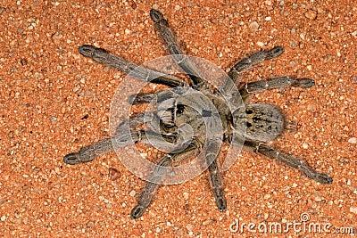 Horned spindel för baboon